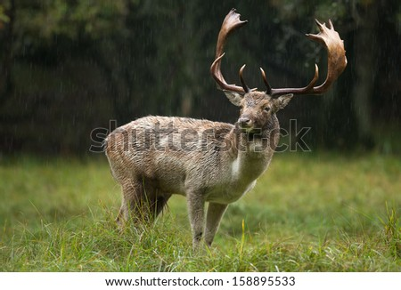 Fallow deer stands in the rain during the rutting season