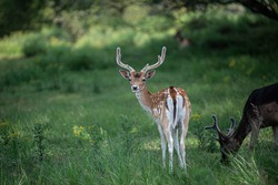 Fallow deer with bambi spots looking back next to grazing dark fallow deer