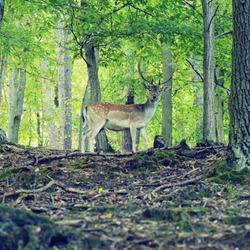 Fallow - fallow deer. (Dama dama ) Beautiful natural forest background with animals