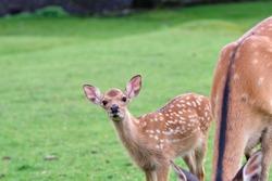 fallow of nara deer in spring