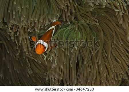 False Clown anemonefish in South Pacific Anemone