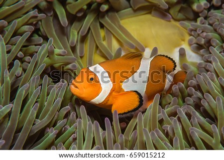 False clownfish (Amphibrion percula) in green anemone  #659015212