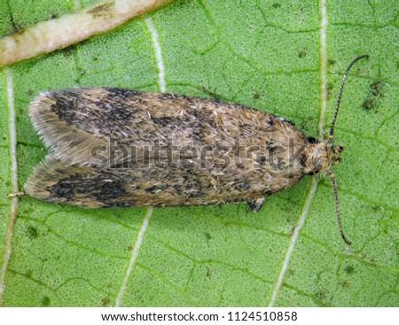 False Codling Moth (Thaumatotibia leucotreta) is the dangerous pest of citrus trees in Africa