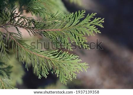 False cypress - Latin name - Chamaecyparis lawsoniana ストックフォト ©