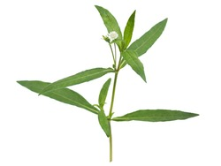 false daisy or eclipta prostrata with leaf use as ingredient in hair shampoo or cosmetics product and medicine herb is a natural extract use for health care concept.