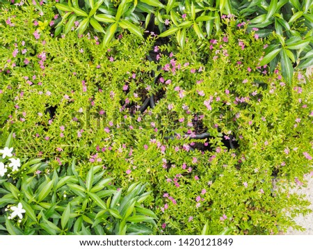 False heather (Cuphea hyssopifolia) purple coloured flowers blossom blooming with green leaves texture background, other names Mexican heather, Hawaiian heather or elfin herb. #1420121849