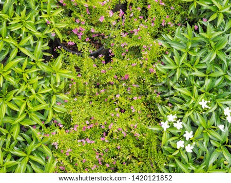 False heather (Cuphea hyssopifolia) purple coloured flowers blossom blooming with green leaves texture background, other names Mexican heather, Hawaiian heather or elfin herb. #1420121852
