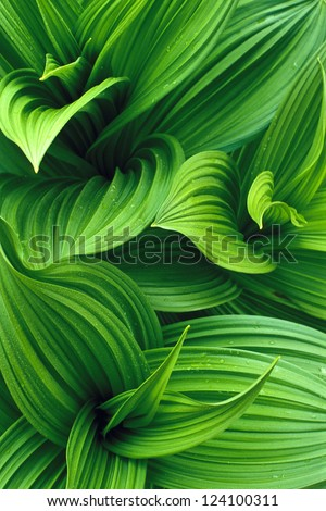 False Hellebore Leaves #124100311