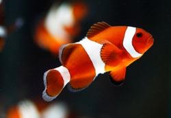 False percala clownfish or Ocellaris clownfish (Amphiprion ocellaris)