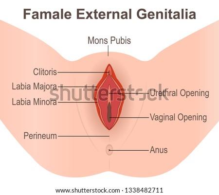 Famale External Genitalia