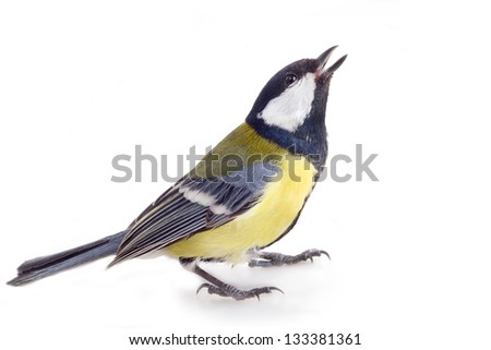 familiar titmouse bird isolated on a white background