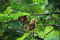 Families of Stump-tailed Macaque (Macaca arctoides) at Khao Krapuk-Khao Tao Mo Wildlife Non Hunting Area Phetchaburi, Thailand