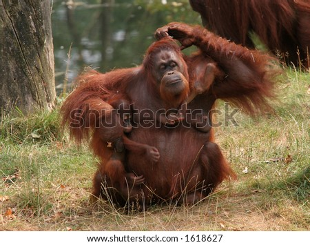 Family affairs; mother orang utan trying to keep her two babies together