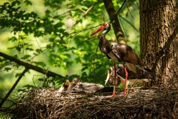 Family black stork, ciconia nigra, standing in nest on summer light. Aduld dark bird with long red beak with little chick resting on tree in woodland. Long legged feathered animal guarding its young