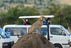 Family Cheetah Masai Mara National Park in Kenya