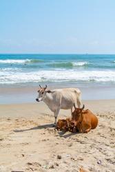 Family cows on a beach, Mahabalipuram, Tamil Nadu, South India