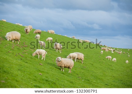 Family gathering of sheep on green meadow on dutch island Texel