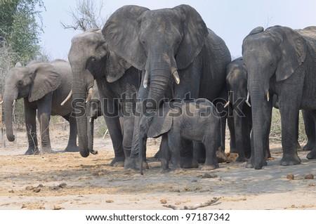 Family group of elephants at Chobe national park in Botswana, Africa