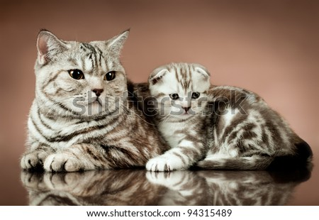 family group of two fluffy  beautiful kitten with mother, breed scottish-fold,  lie on brown  background