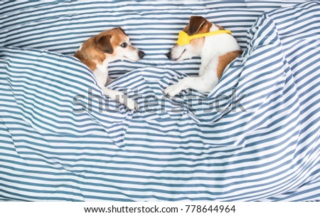 Family in bed. Dogs couple is lying in striped blue and white sheets bed. Cozy home love atmosphere