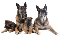 family malinois in front of white background