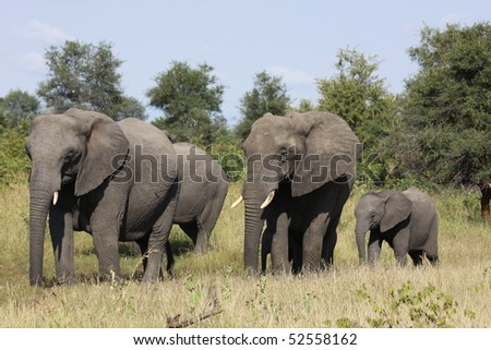 Family of African Elephant - stock photo