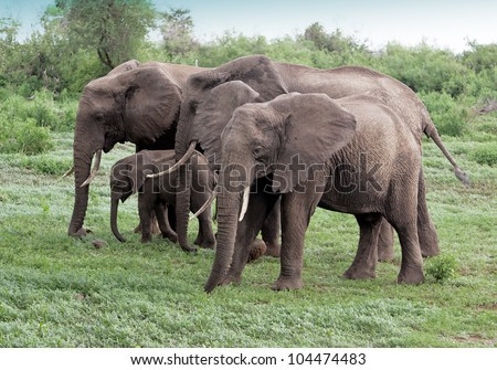 Family of african elephant in Lake Manyara National Park - Tanzania