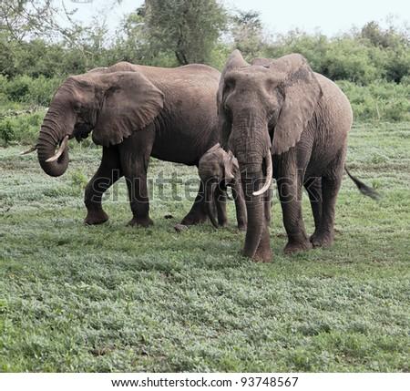 Family of african elephant in Lake Manyara National Park - Tanzania