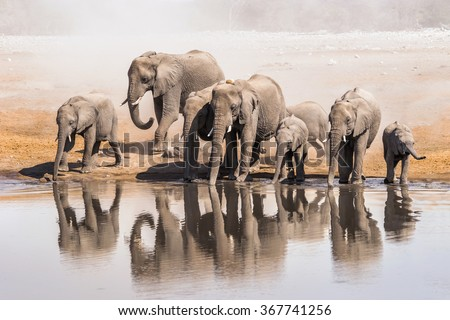 Family of African elephants drinking at a waterhole in Etosha national park. Namibia, Africa.