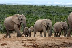 Family of African elephants walking in single file