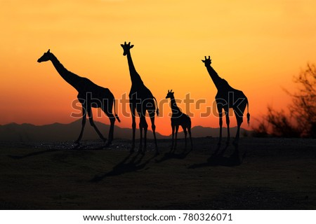Family of African Giraffes silhouette at sunset on open plains #780326071
