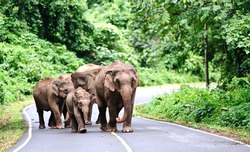 Family of Asian elephant in Khao Yai National Park,Thailand