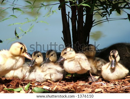 Family of baby ducks lined up, as if posing for a shot