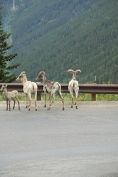 Family of big Horn sheep enjoying the views off Guanella Pass road, near Georgetown, Colorado