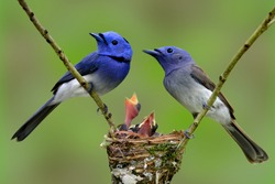 Family of Black-naped Monarch (Blue flycatcher), the beautiful blue birds guarding their chicks in the nest with nice blur green background