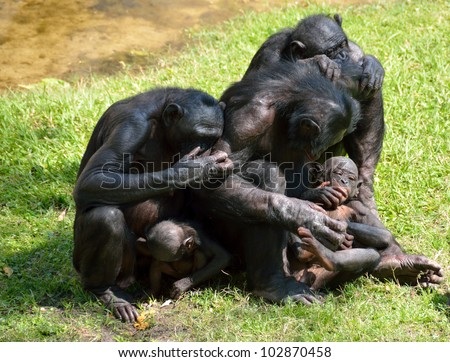 Family of Bonobo Apes caring for each other