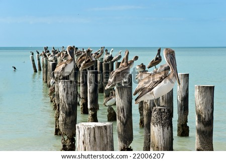 family of brown pelicans standing on a pier post.