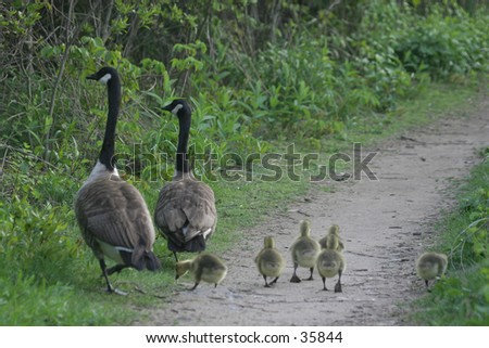 Family of Canadian Goose