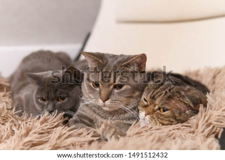 Family of cats lying closely on a white chair covered brown plaid and looking down with concentration. The cat in a middle is very serious. Right cat is very tight. Close up view image.