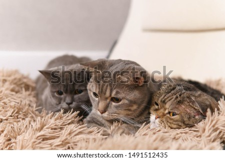 Family of cats lying closely on a white chair covered brown plaid and looking down with concentration. Right cat is very tight. Close up view image. Local focus on the front cat.