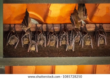 Family of cave nectar bats hanging onto exposed roof beam