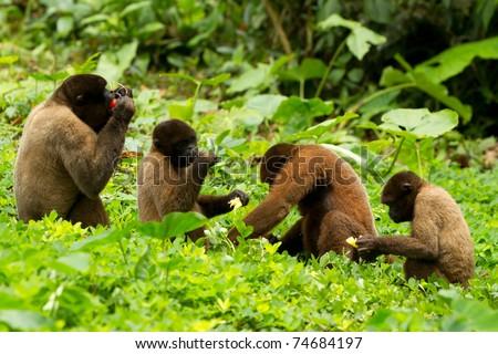 Family of chorongo monkey in Ecuadorian jungle. Wildlife shoot