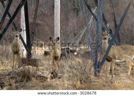 Family of Deer Under Power Lines