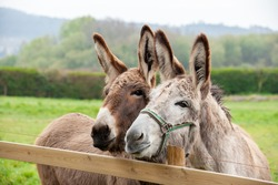 Family of donkeys outdoors in spring. Couple of donkeys on the meadow