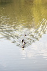 Family of ducks swimming in a lake, team work. Symbolic Nature vertical Landscape. Wildlife photography