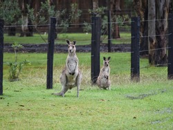 Family of Eastern grey kangaroos standing in front of a farm fence. Mother and Joey kangaroo standing on grass.