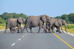 family of elephants crossing the paved road