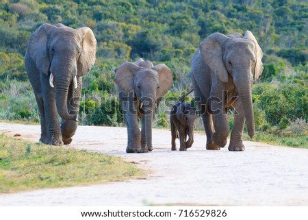 Family of elephants from Addo Elephant National Park, South Africa. African wildlife Stock photo ©