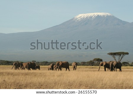 Family of elephants walking and feeding close to Kilimanjaro