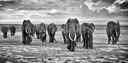 Family of elephants walking group on the African savannah at photographer, Kenya